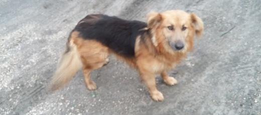 Znaleziono psa w miejscowości Niedrzwica Duża - Tomaszówka - 28.10.2016