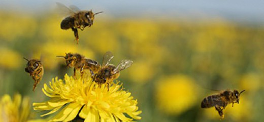 Komunikat o konieczności przestrzegania zasad stosowania środków ochrony roślin w sposób bezpieczny dla pszczół - maj 2017