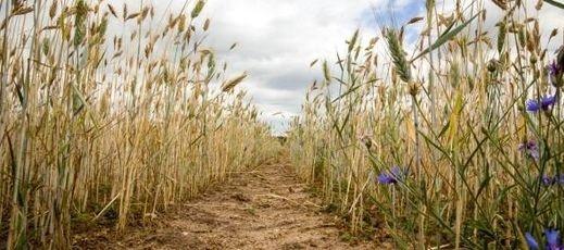 Wydłużenie terminu składania wniosków suszowych - do 22.07.2019 r.