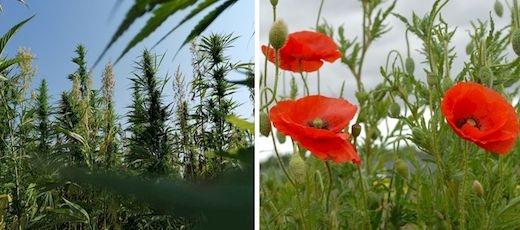 Ogłoszenie dla producentów rolnych zainteresowanych uprawą maku i konopi włóknistych w 2022 roku